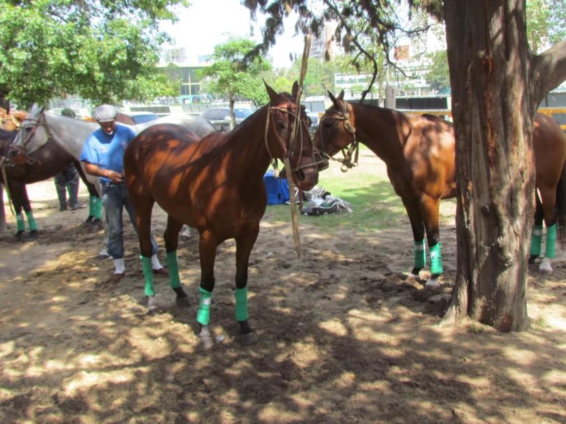 polo horse buenos aires